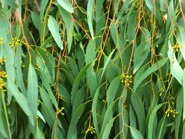 Hình ảnhTác Dụng Thanh Lọc Phổi Của Eucalyptus